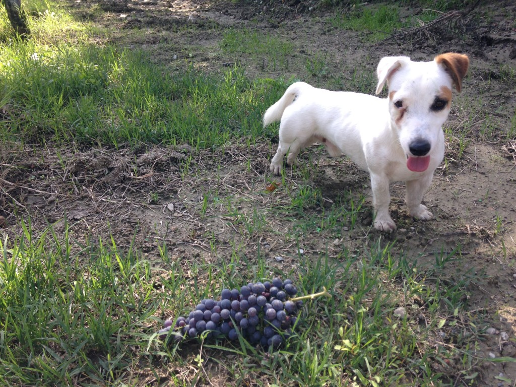 Il carattere del jack russell mic gioioso curioso e for Carattere jack russel