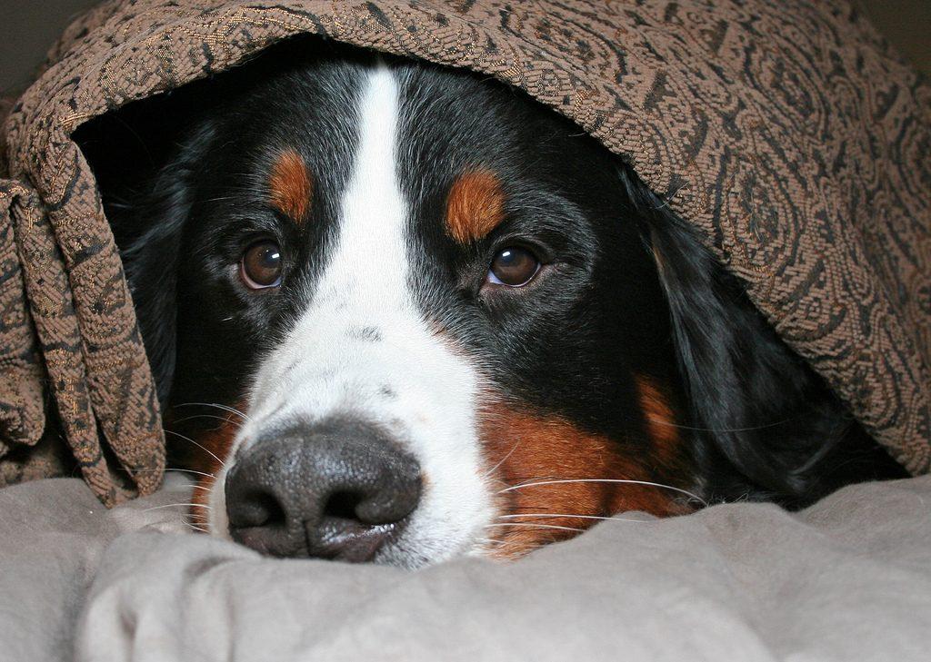Botti di Capodanno: sei suggerimenti per aiutare il tuo cane e il tuo gatto ad affrontarli