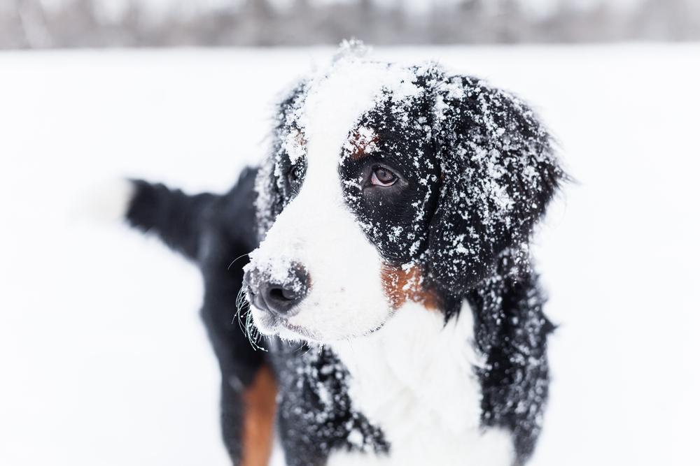 Le chien et la neige: 3 choses à savoir