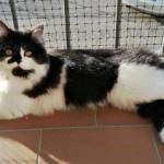 gatto bianco nero