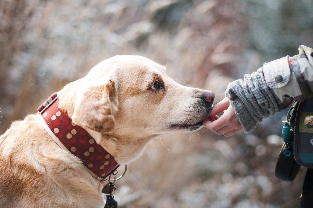 Quale dieta per la Labrador sterilizzata che tende a ingrassare – L'opinione del Prof