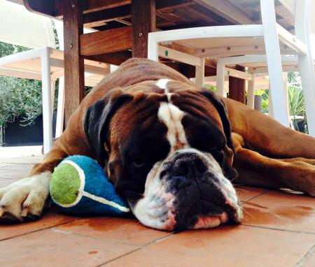 cane boxer dorme