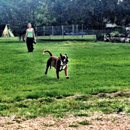 cane boxer parco