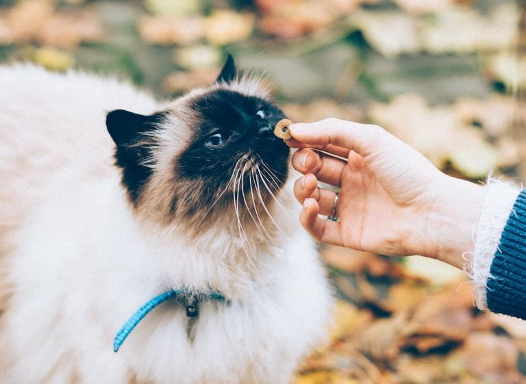 Recettes «maison» pour votre chat? Les risques de le priver de nutriments essentiels