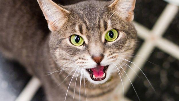 Curiosità sul linguaggio dei gatti