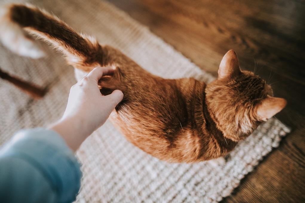 Quand le chat nous parle: la signification des mouvements de la queue