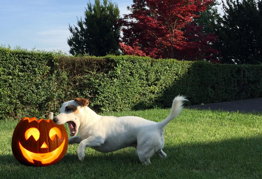 Crocchetta o scherzetto? Il goloso Halloween del jack russell Mic
